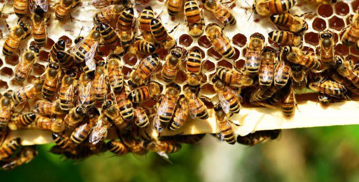 honey-bees-401238_1280