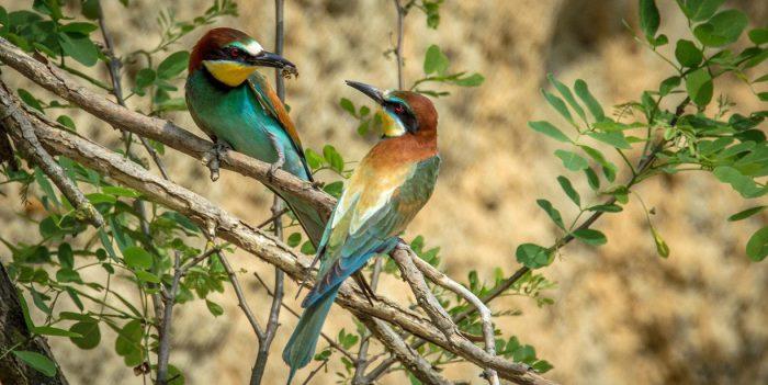 european-bee-eater-2118782_1280