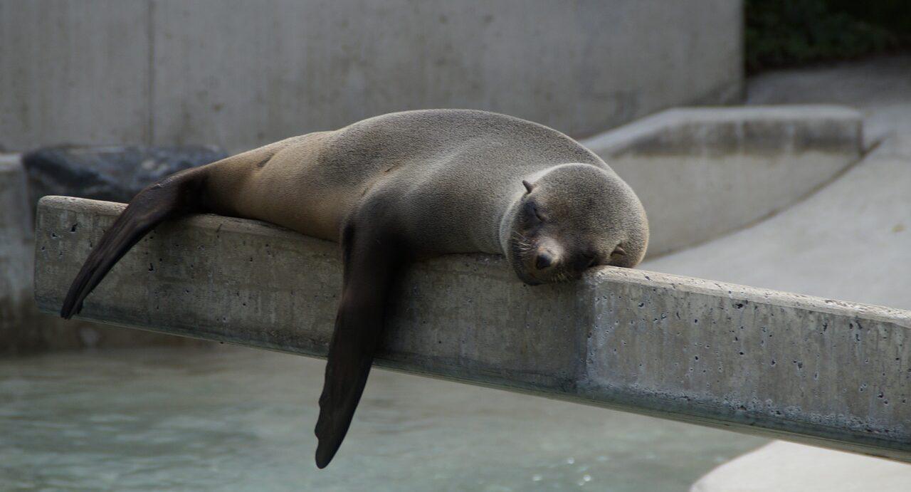 a seal taking a nap