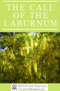 Pin showing a beautiful laburnum tree